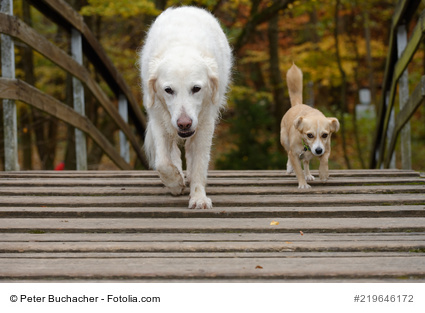 The Gang - Golden Retriever und kleiner Hund.
